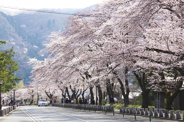 宝登山参道桜並木(3月下旬~4月上旬)