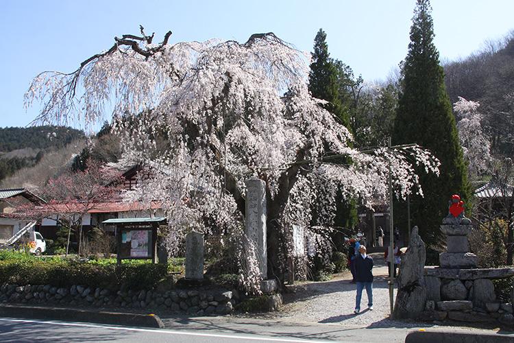 法善寺しだれ桜(3月下旬~4月上旬)