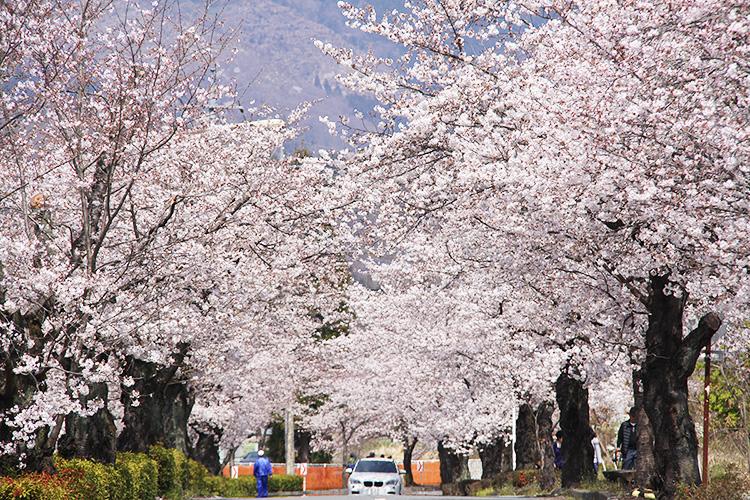 北桜通り(3月下旬~4月上旬)